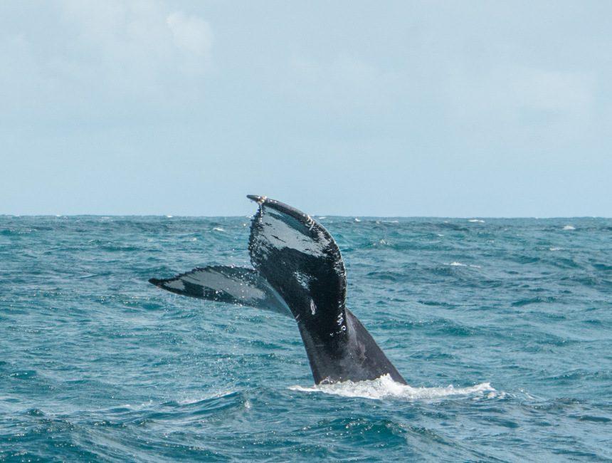 walvis safari Dominicaanse Republiek