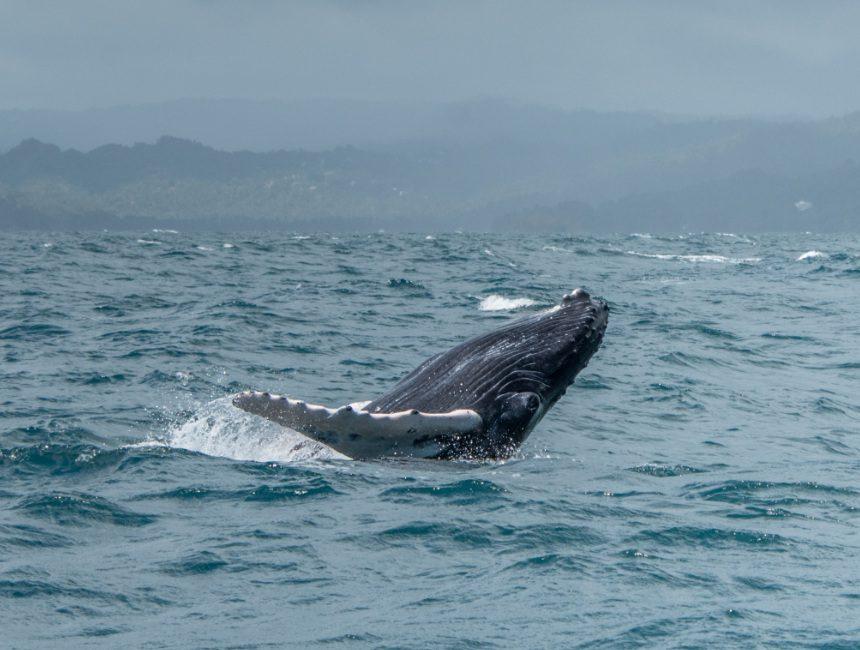 walvissen Samana Dominicaanse Republiek