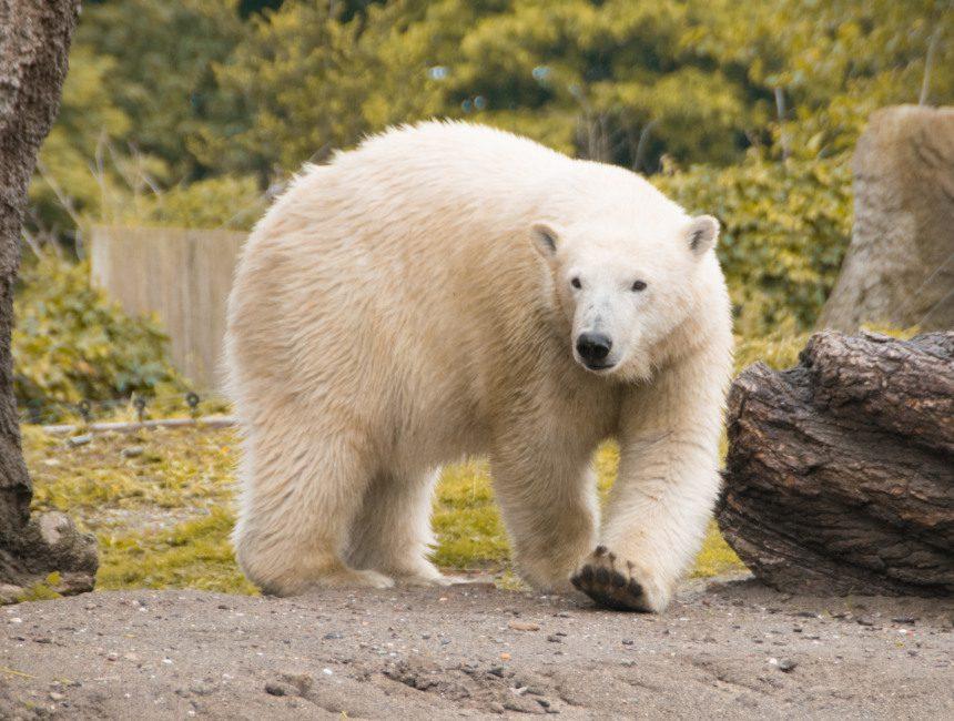 Diergaarde Blijdorp ijsbeer