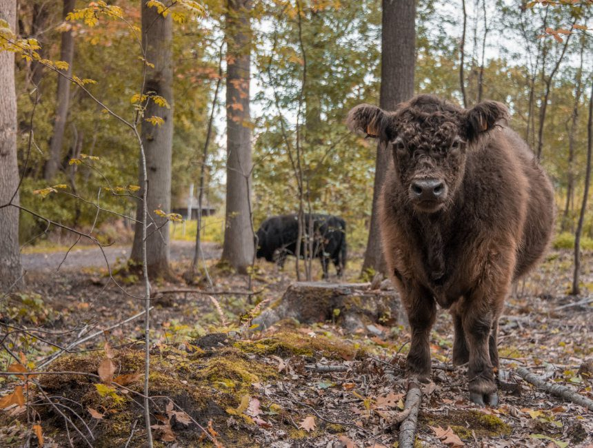 natuurdomein kiewit koeien