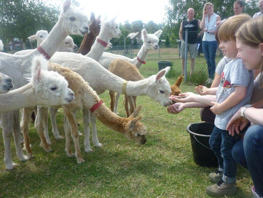 origineel overnachten met kind België Limburg Alpacaboerderij