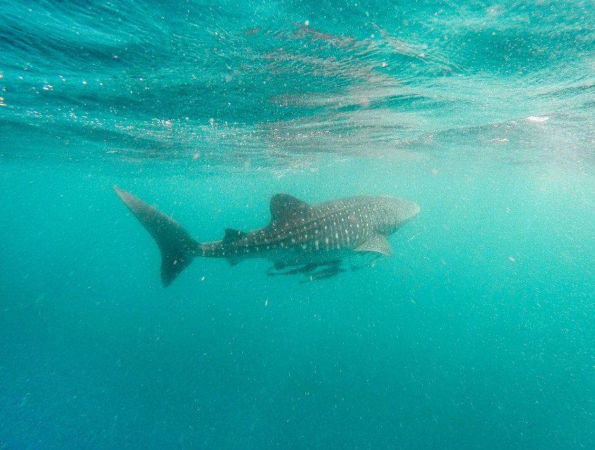 walvishaaien filipijnen