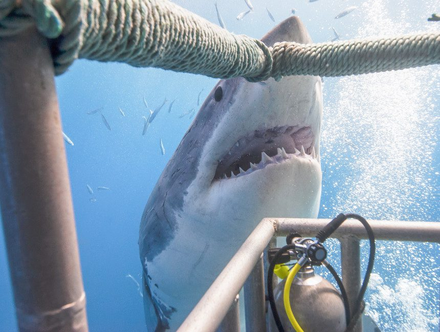 zwemmen witte haai australie