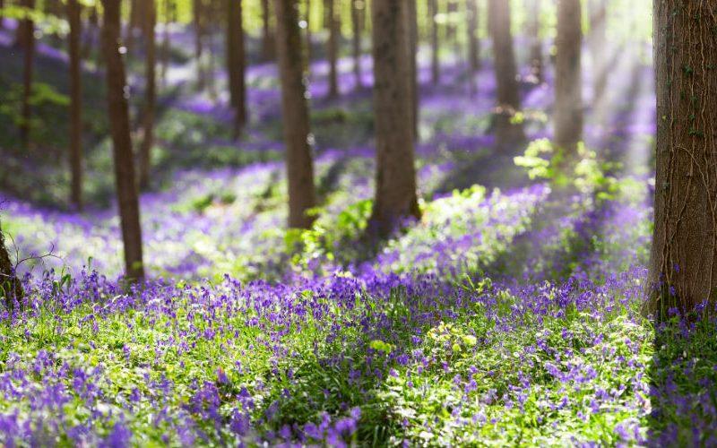 hallerbos hyacinten