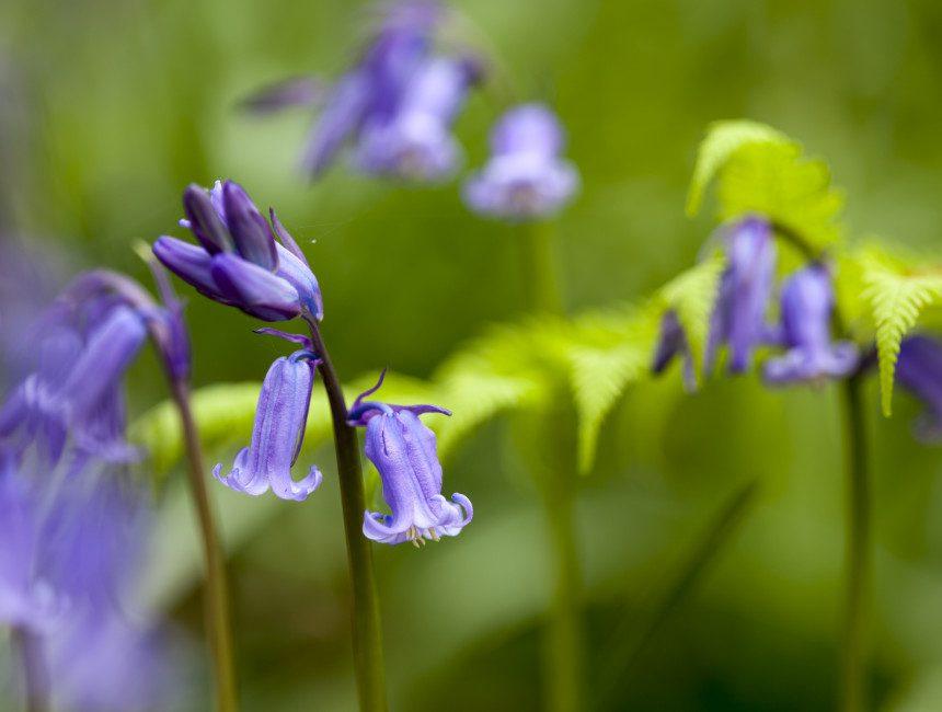hyacinten Hallerbos