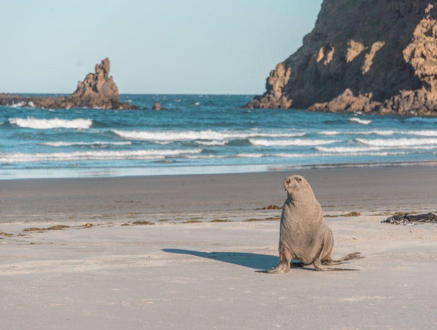 hooker zeeleeuw Otago schiereiland