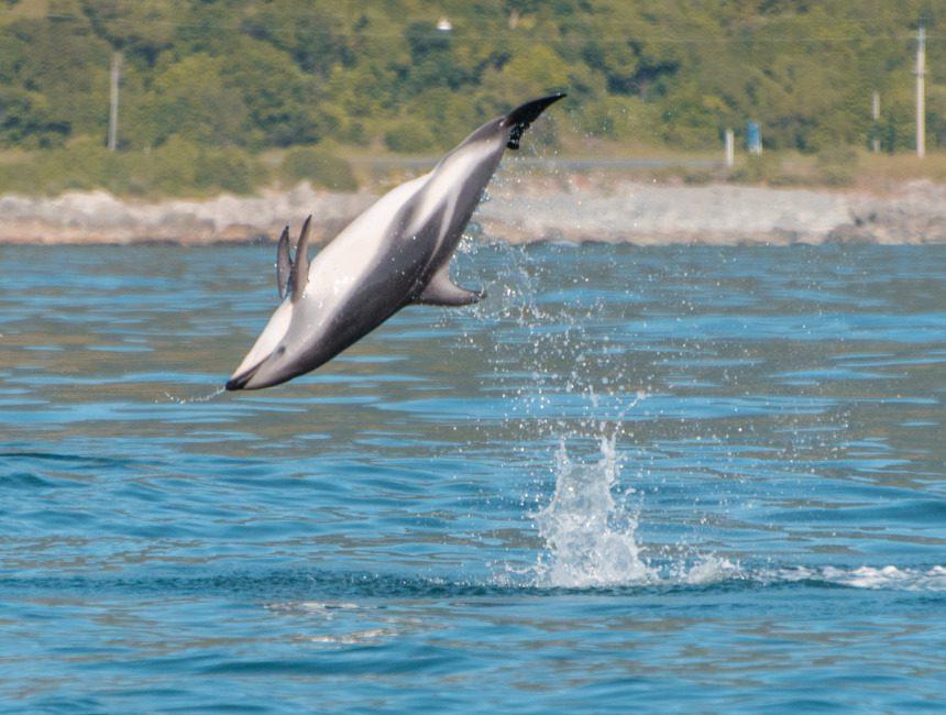 nieuw zeeland dolfijnen kaikoura