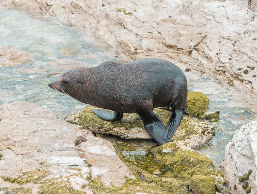 zeehondenkolonie Kaikoura