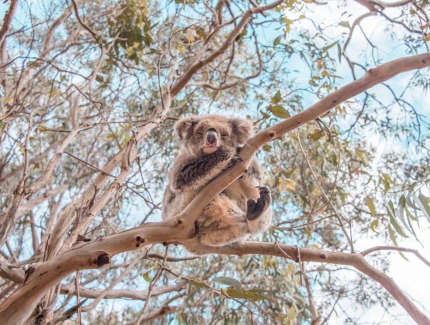 rondreizen Australie Koala