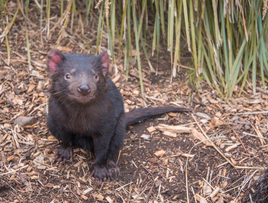 Tasmaanse duivel Australië Tasmanië