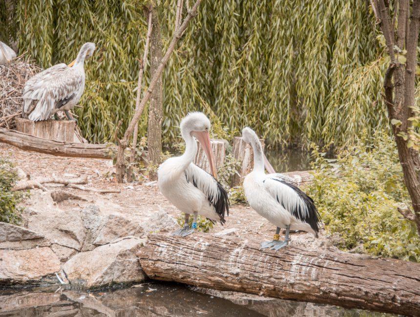Berlijnse Zoo pelikanen