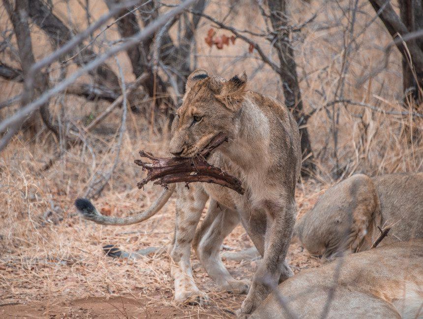 Makalali Private Game Lodge leeuwen