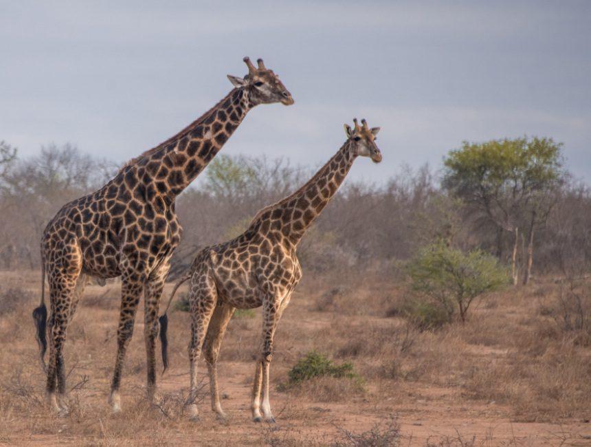 giraf Makalali Game reserve