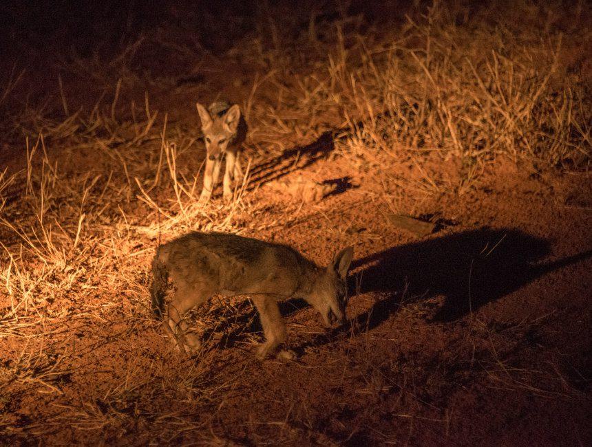 jakhalzen nachtsafari Kruger