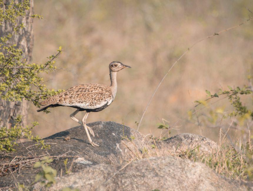 Krugerpark lodges Jock