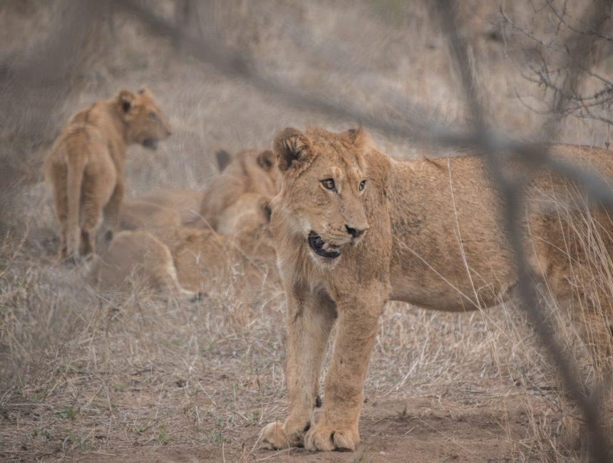 leeuwen jock safari Lodge Krugerpark