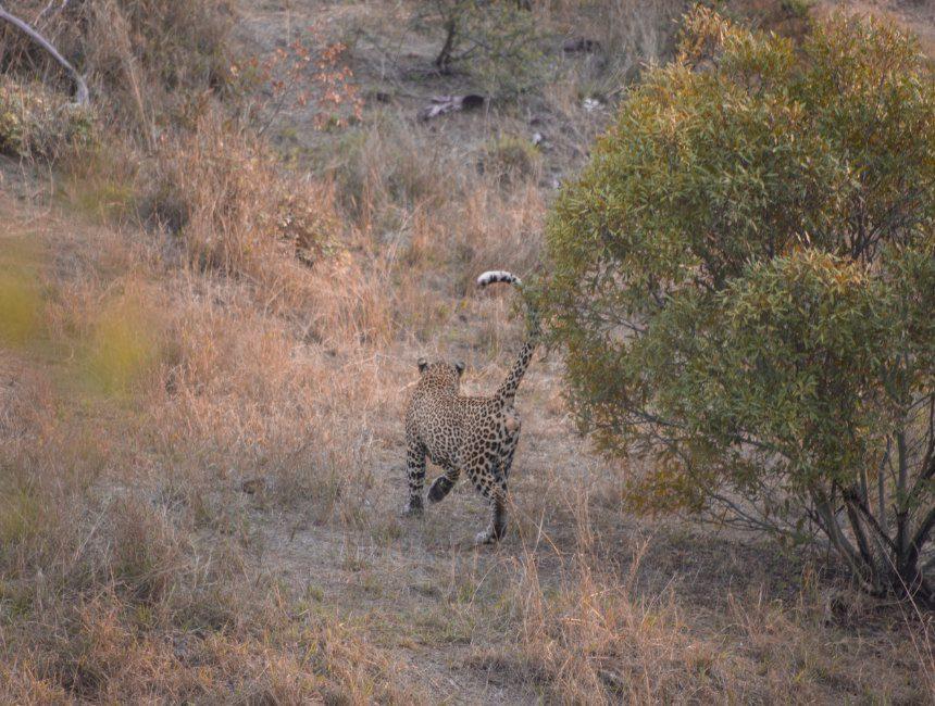 luipaard Krugerpark Jock