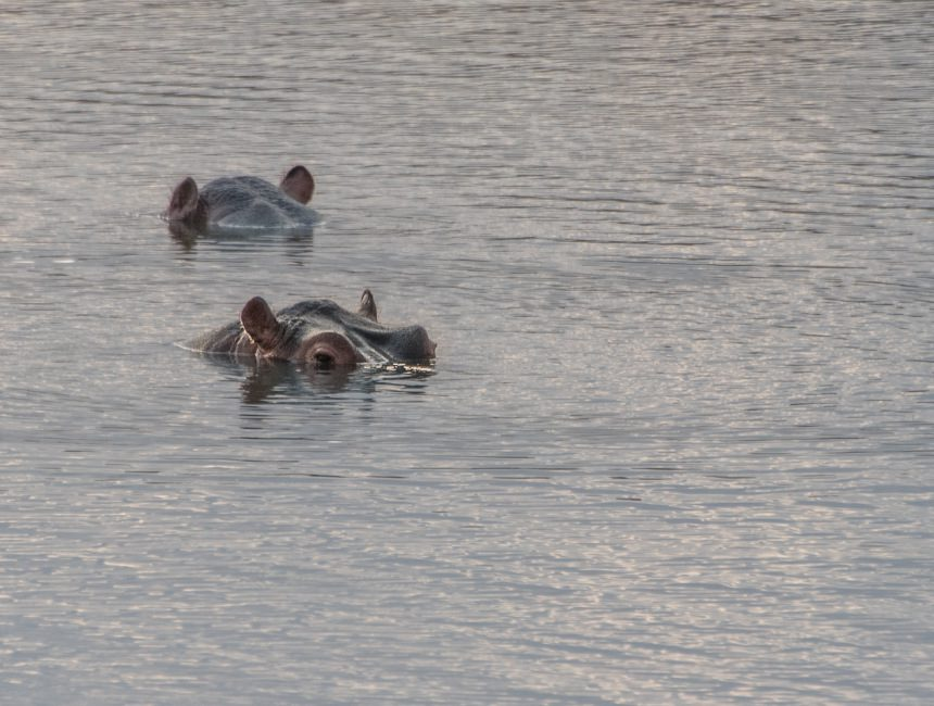 nijlpaarden krugerpark safari Zuid-Afrika