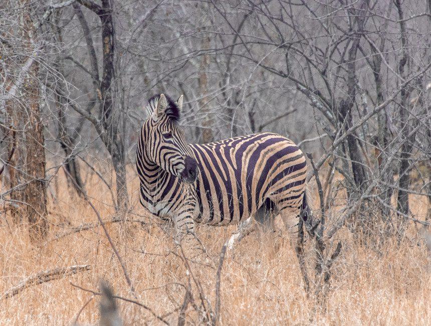 zebra nDzuti