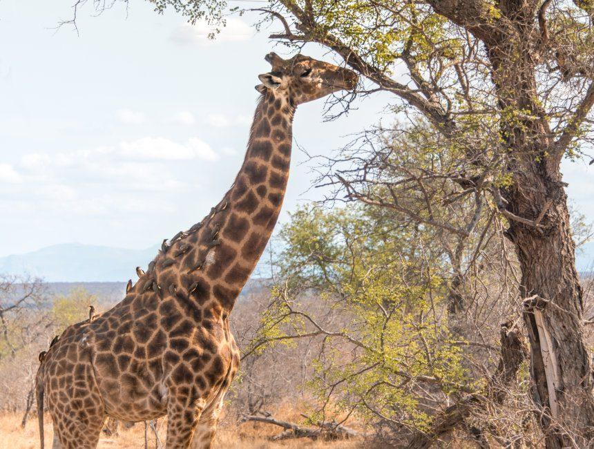 giraf Zuid-Afrika vrijwilligerswerk