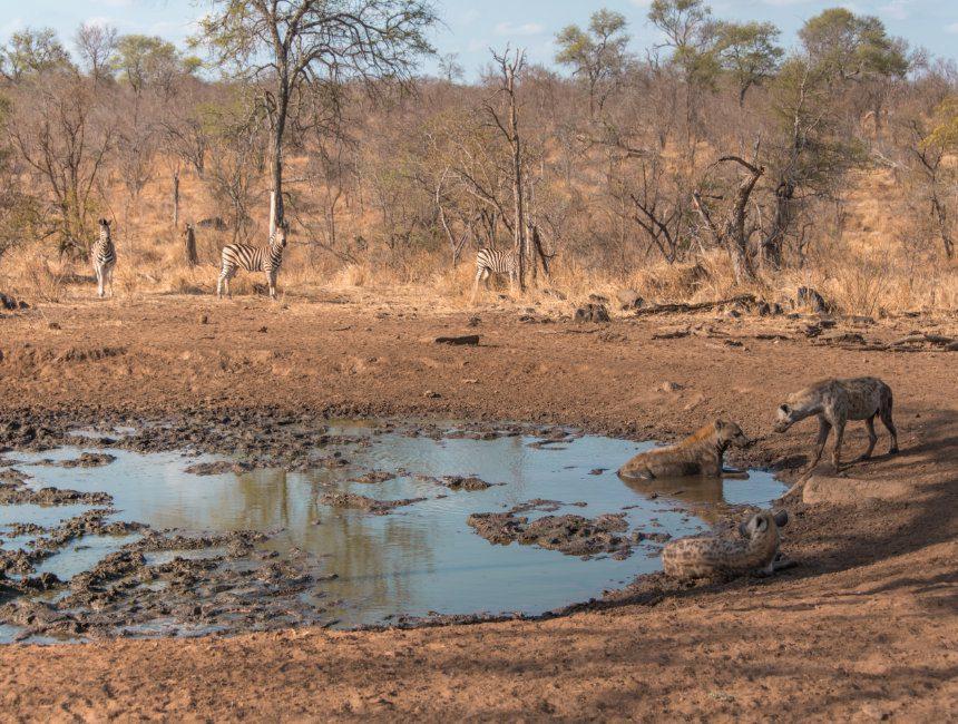 hyena's zebra's zuid afrika