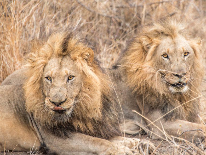 vrijwilligerswerk met dieren leeuwen