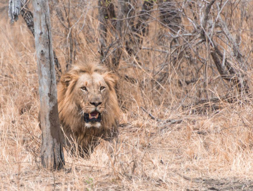 vrijwilligerswerk zuid-afrika leeuwen